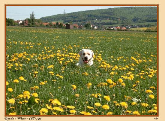 Rinteln - Mein Hund (Billy-Labrador) auf einer Wiese in der Nähe des OT-Ahe !
